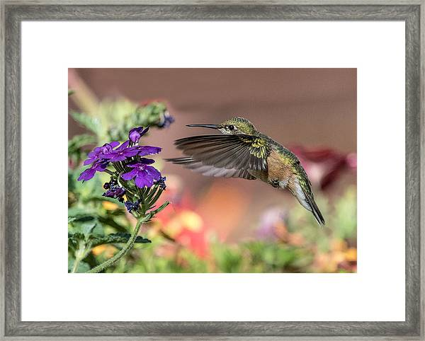 Hummingbird And Purple Flower Framed Print