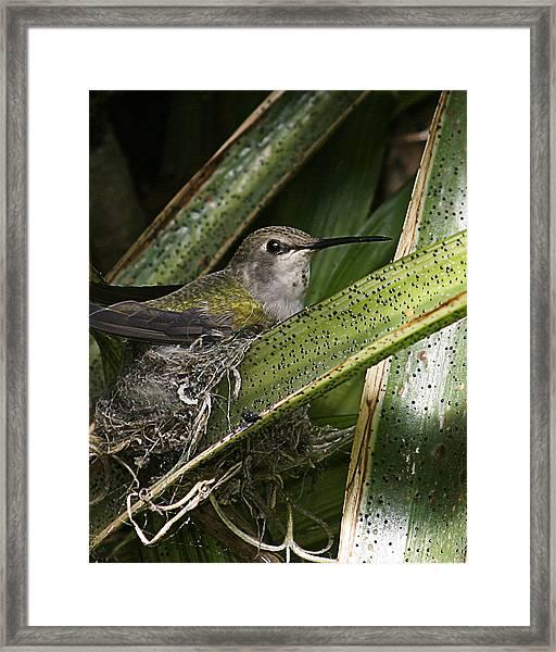Nesting Anna's Hummingbird Framed Print