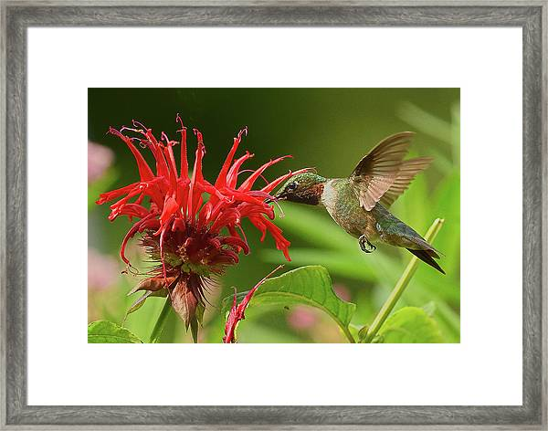 Framed Print featuring the photograph Hummingbird Delight by William Jobes