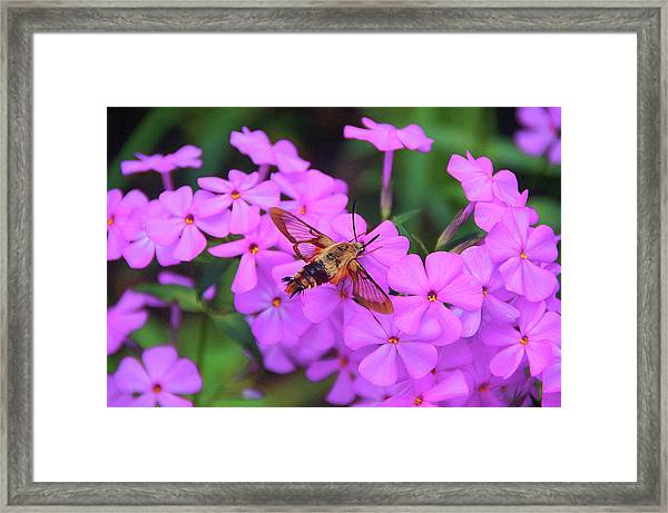 Hummingbird Moth And Phlox Framed Print