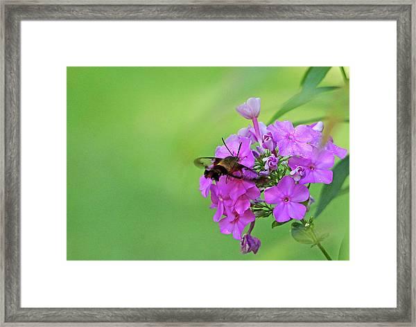 Hummingbird Moth And Pink Phlox Framed Print