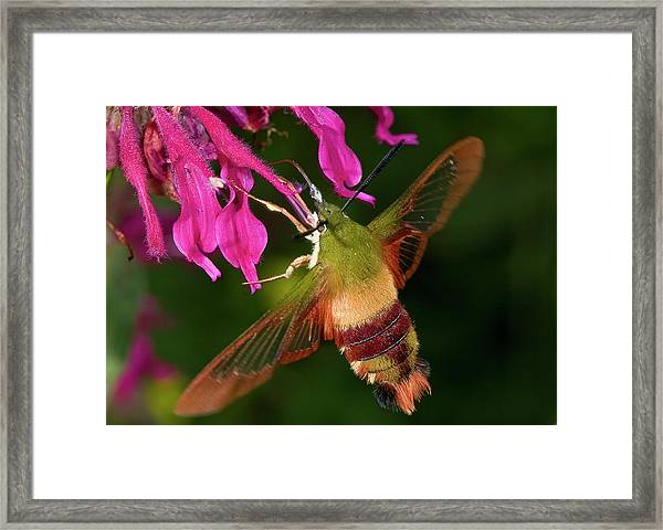 Hummingbird Moth Framed Print