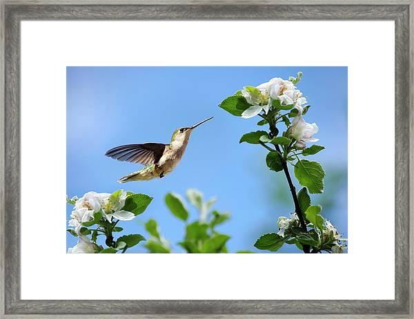 Hummingbird Springtime Framed Print