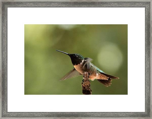 Hummingbird Take-off Framed Print