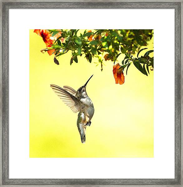 Framed Print featuring the photograph Hummingbird Under The Floral Canopy by William Jobes