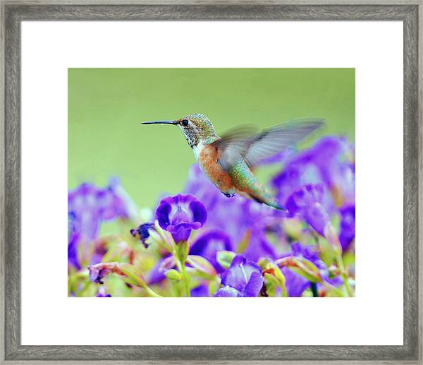 Hummingbird Visiting Violets Framed Print by Laura Mountainspring