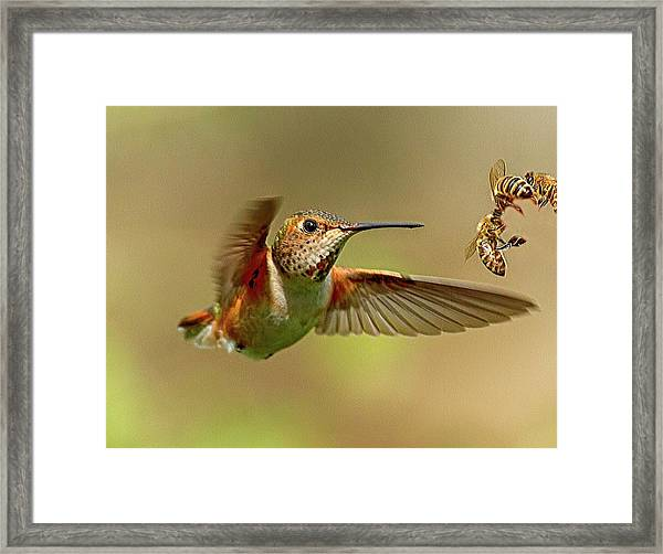 Hummingbird Vs. Bees Framed Print