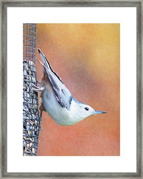 Hungry Nuthatch Framed Print