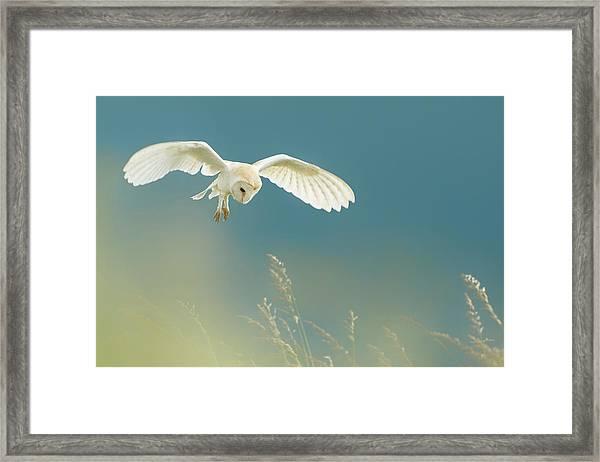Hunting Barn Owl Framed Print