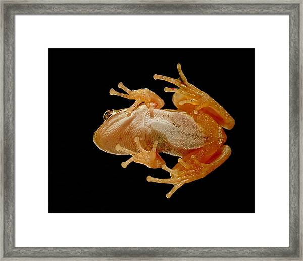 Hunting On Glass - Tree Frog Framed Print