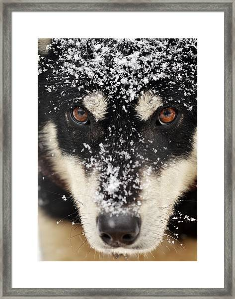 Husky And Snow Close-up Framed Print