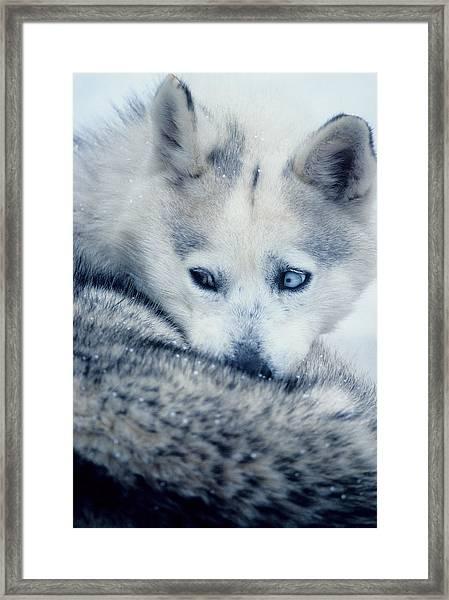 Husky Curled Up Framed Print