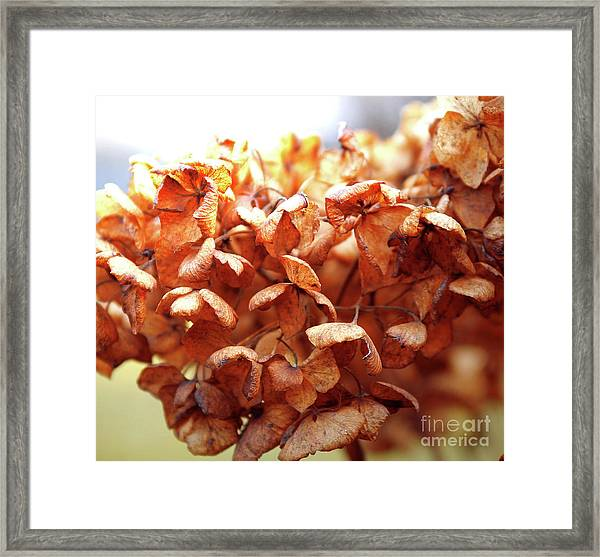 Hydrangea In Sunlight Framed Print