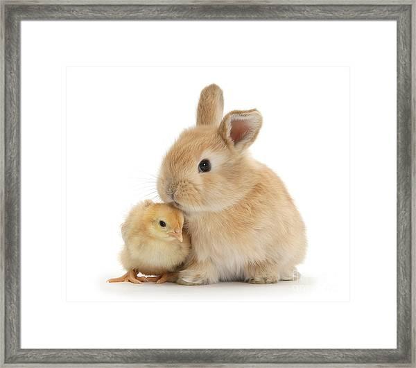 I Love To Kiss The Chicks Framed Print