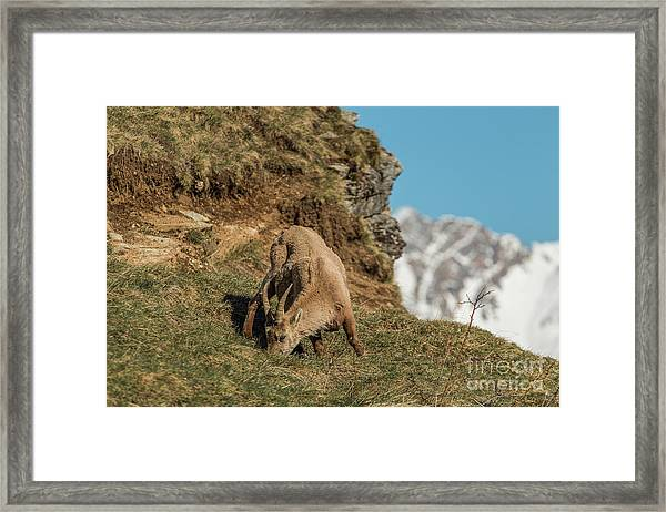Ibex On The Mountains Framed Print