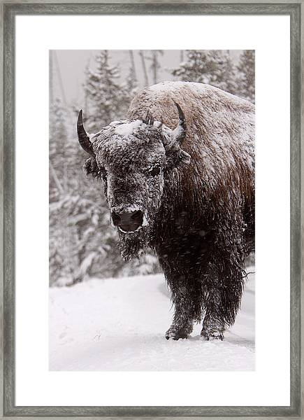 Ice Cold Winter Buffalo Framed Print