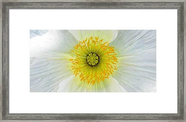 Iceland White Poppy Framed Print
