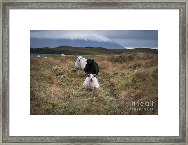 Icelandic Sheep Framed Print