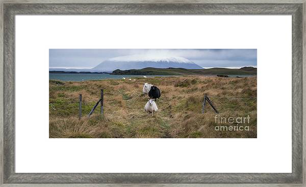 Icelandic Sheep Panorama Framed Print