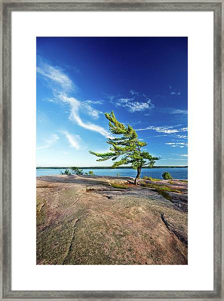 Iconic Windswept Pine Framed Print