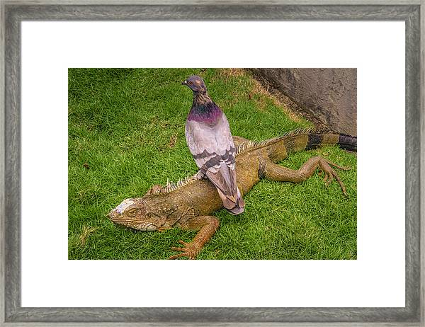 Iguana With Pigeon On Its Back Framed Print