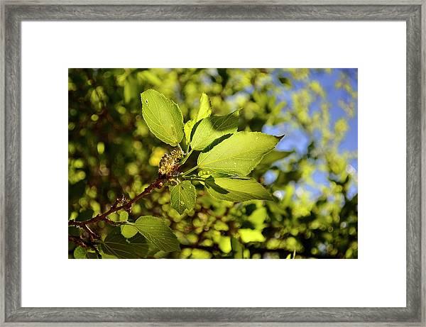 Illuminated Leaves Framed Print