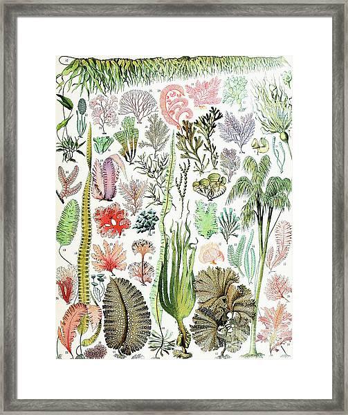 Illustration Of Algae And Seaweed  Framed Print