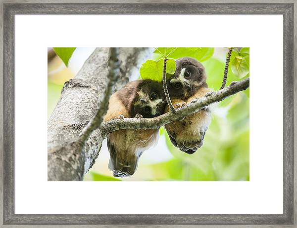 Impossibly Cute Owl Fledglings Framed Print