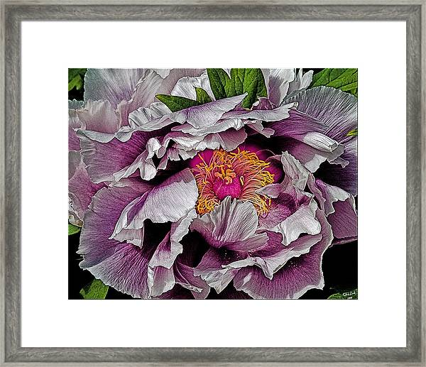 In The Eye Of The Peony Framed Print