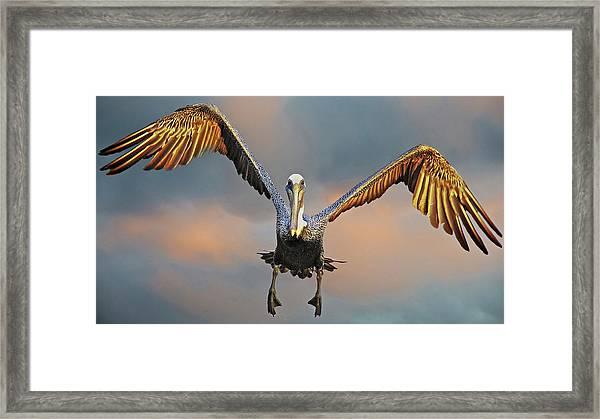 Incoming II, California Brown Pelican Framed Print
