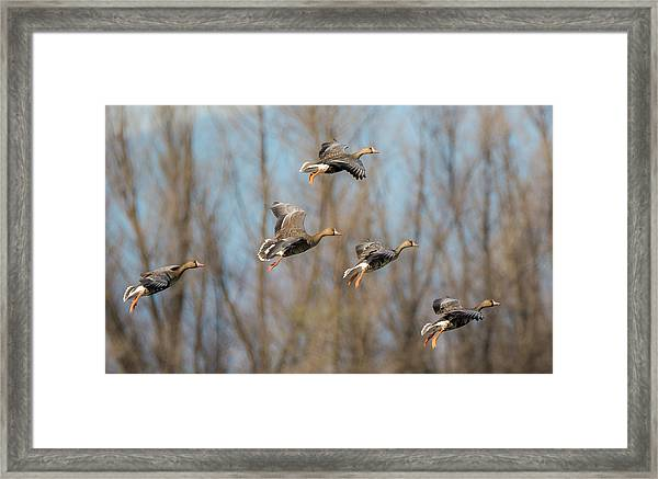 Incoming White-fronted Geese Framed Print