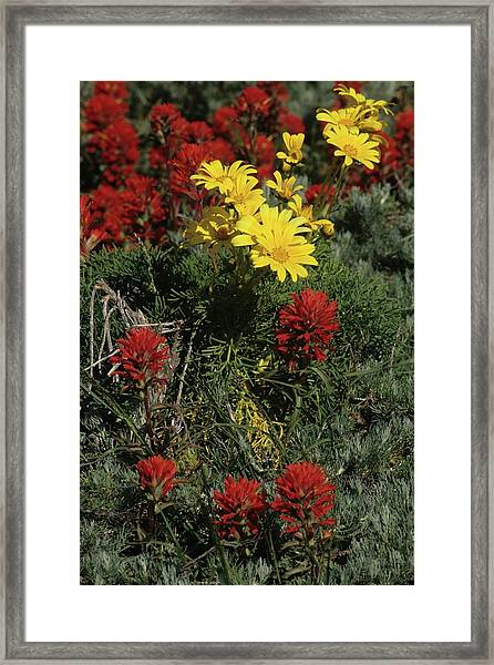 Indian Paintbrush And Sea Dahlia Blooming Framed Print