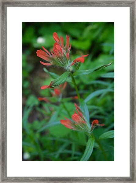 Indian Paintbrush Framed Print
