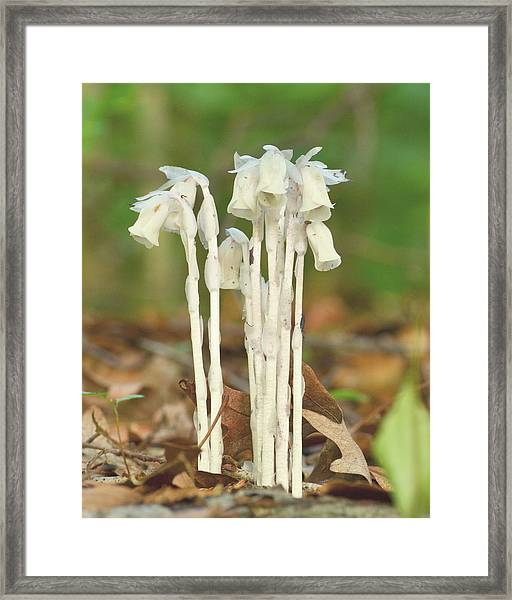 Indian Pipes Framed Print