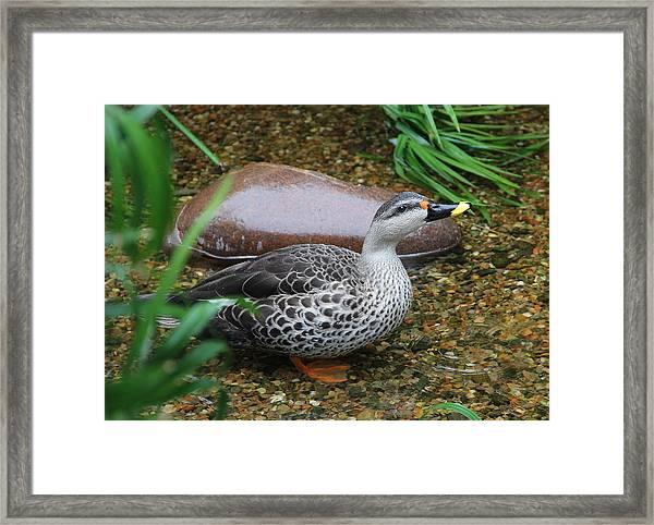 Indian Spot-billed Duck Framed Print