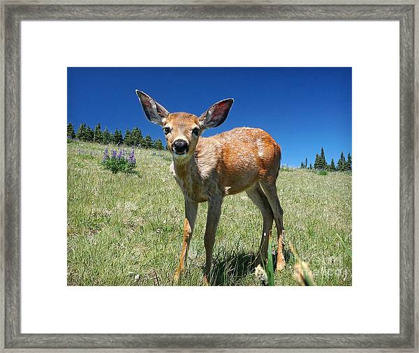 Inquisitive Blacktail Fawn Framed Print