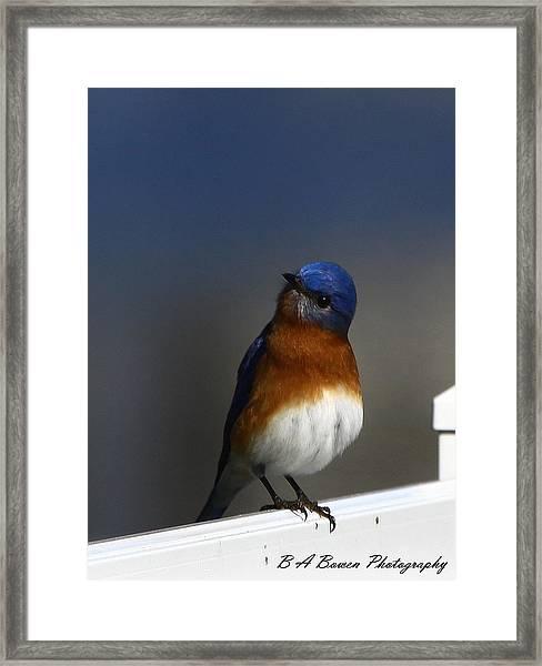 Inquisitive Bluebird Framed Print