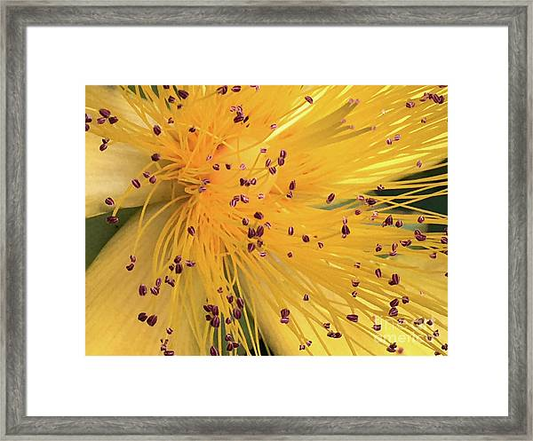 Inside A Flower - Favorite Of The Bees Framed Print