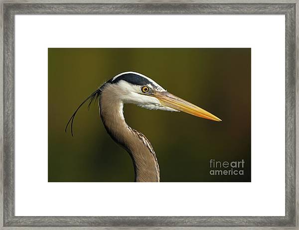 Intensity Of A Heron Framed Print