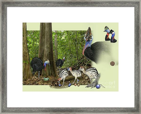 Zoo Nature Interpretation Panel Cassowaries Blue Quandong Framed Print