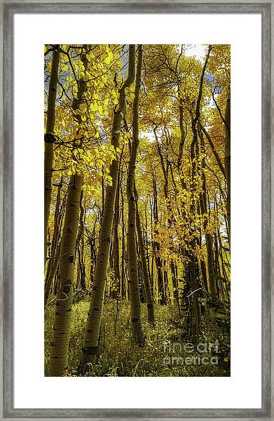 Into The Gold Framed Print