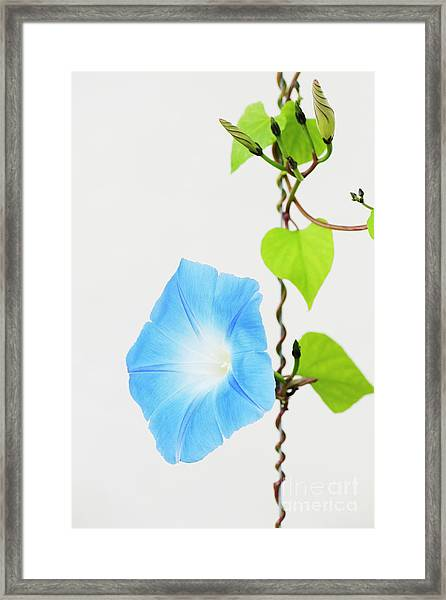 Ipomoea Tricolor Heavenly Blue Framed Print