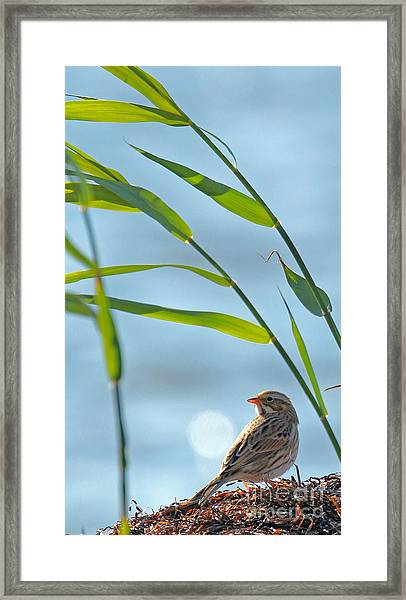 Ipswich Sparrow Framed Print