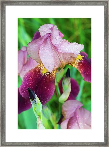 Iriis After Rain Framed Print