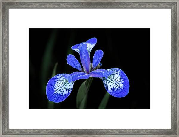 Iris #2 Framed Print