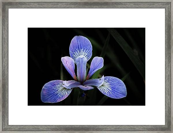Iris #4 Framed Print