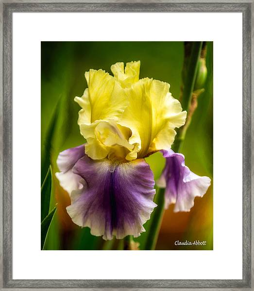 Framed Print featuring the photograph Iris by Claudia Abbott