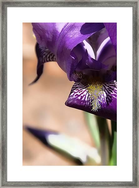 Iris Gemanica Framed Print