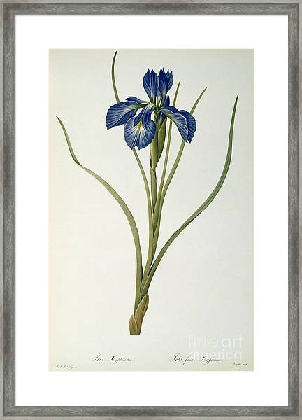 Iris Xyphioides Framed Print