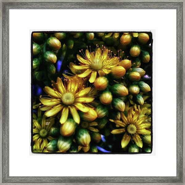 Framed Print featuring the photograph Irish Rose. Also Known As Pinwheel by Mr Photojimsf